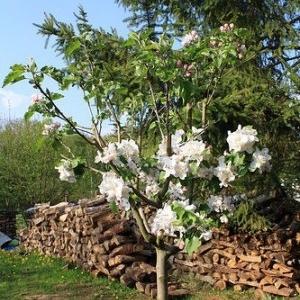 آموزش پرورش درخت سیب از دانه