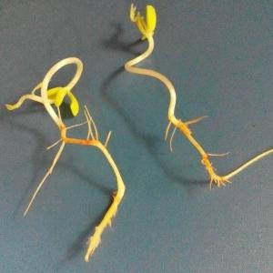 کاشت بذر سیب-پرتغال-گلابی-نارنگی